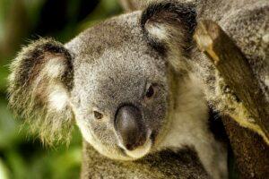 Phascolarctos cinereus - besser bekannt als Koala-Bär, schläft viel und ist eher ungefährlich. Die starken Krallen sorgen aber für schmerzhafte Kratzer. (Foto: ralfkasprowiak/pixabay.com)