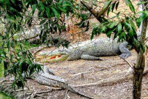 """Crocodylus porosus - das Salzwasserkrokodil, liebevoll auch """"Saltie"""" genannt, kommt in Nord-Australien häufig vor. Gefahrenpotential: Hoch. (Foto: robertwaghorn/pixabay.com)"""